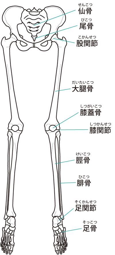 下肢の関節